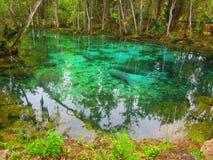Peixes-boi nas molas da água fria Imagens de Stock