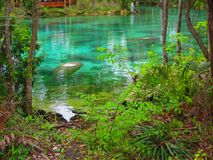 Peixes-boi nas molas da água fria Foto de Stock