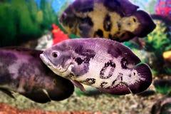 Peixes bonitos Astronotusa do aquário Imagem de Stock Royalty Free
