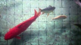 Peixes bonitos da carpa de Koi e assoalho telhado velho de desejar bem a lagoa vídeos de arquivo