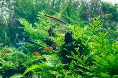 Peixes bonitos e plantas verdes no aquário de água doce imagens de stock royalty free