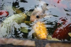 Peixes bonitos em Koh Samui Fotografia de Stock Royalty Free