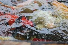 Peixes bonitos em Koh Samui Fotografia de Stock