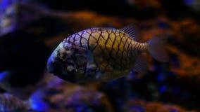 Peixes bonitos no aquário na decoração do fundo das plantas aquáticas Um peixe colorido no aquário video estoque