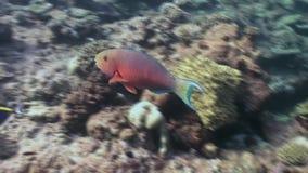 Peixes bonitos originais no fundo do underwater claro do fundo do mar de Maldivas vídeos de arquivo