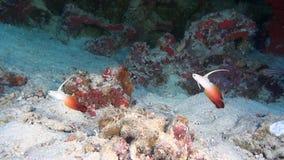 Peixes bonitos originais no fundo do underwater claro do fundo do mar de Maldivas video estoque