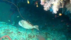 Peixes bonitos originais no fundo do underwater claro do fundo do mar de Maldivas filme