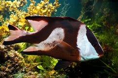 peixes Branco-atados do damsel (aruanus do dascyllus) Imagem de Stock Royalty Free
