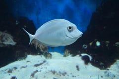 Peixes brancos Imagens de Stock Royalty Free