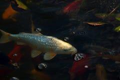 Peixes brancos da carpa Imagem de Stock