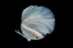 Peixes brancos do betta no fundo preto Fotos de Stock Royalty Free