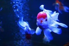 Peixes brancos e vermelhos Imagens de Stock Royalty Free