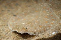 Peixes camuflados da raia foto de stock