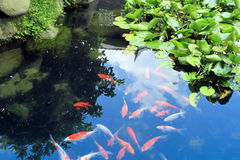 Peixes chineses bonitos do koi ou da carpa na água Imagem de Stock Royalty Free