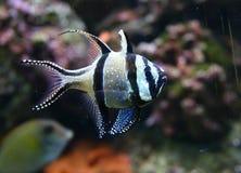 Peixes coloridos Imagem de Stock Royalty Free