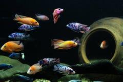 Peixes coloridos das cichlidaes de Malawi no aquário fotografia de stock royalty free