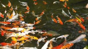 Peixes coloridos de Koi vídeos de arquivo