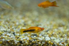 Peixes coloridos de Molly do aquário Habitam córregos da água fresca imagens de stock royalty free