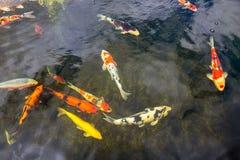 Peixes coloridos do koi que nadam na lagoa de uma pesca fotos de stock