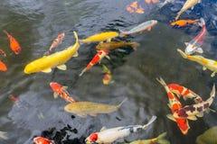 Peixes coloridos do koi que nadam na lagoa de uma pesca imagens de stock