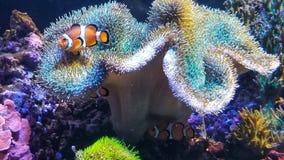 Peixes coloridos do palhaço da vida marinha foto de stock