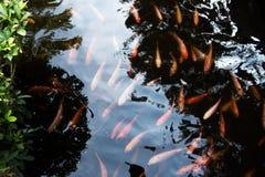 Peixes coloridos e variados em uma lagoa Fotos de Stock Royalty Free