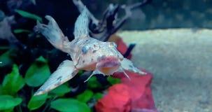 Peixes coloridos tropicais no aqu?rio com ?gua azul e o ambiente real, fluindo com lento filme
