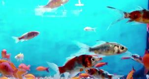 Peixes coloridos tropicais no aqu?rio com ?gua azul e o ambiente real, fluindo com lento vídeos de arquivo