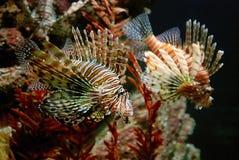 Peixes corais Imagens de Stock Royalty Free