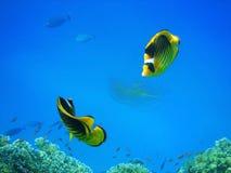 Peixes corais Fotos de Stock Royalty Free