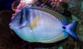 Peixes corais - Zebrasoma Fotos de Stock