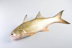 Peixes crus Imagem de Stock