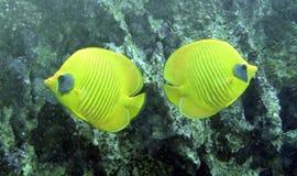 Peixes da borboleta (semilarvatus de Chaetodon) imagens de stock royalty free