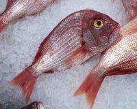 Peixes da brema do Mar Vermelho Fotos de Stock