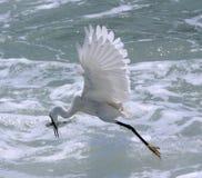 Peixes da caça do Egret Foto de Stock Royalty Free
