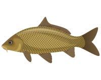 Peixes da carpa ilustração do vetor
