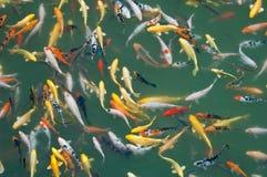 Peixes da carpa foto de stock
