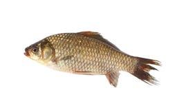 Peixes da carpa de Crucian no fundo branco foto de stock