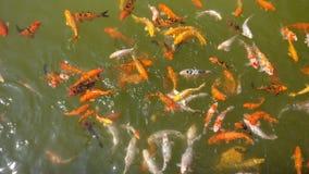 Peixes da carpa de Japão Fotografia de Stock Royalty Free