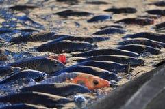 Peixes da carpa de Koi Fotografia de Stock Royalty Free