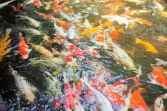 Peixes da carpa de Koi Imagens de Stock