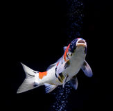 Peixes da carpa no fundo preto Foto de Stock