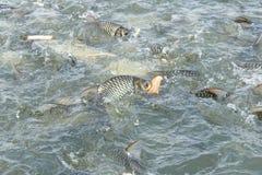 Peixes da carpa que comem o pão Fotografia de Stock