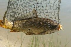 Peixes da carpa travados na rede Fotos de Stock