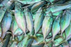 Peixes da cavala Fotografia de Stock