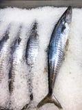 Peixes da cavala de rei fotografia de stock royalty free