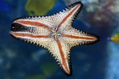 Peixes da estrela Fotografia de Stock Royalty Free