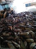 Peixes da farinha de peixe foto de stock