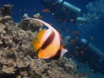 Peixes da flâmula Fotografia de Stock