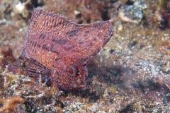 Peixes da folha de Brown em Siladen foto de stock